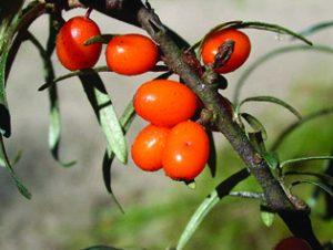 Plante médicinale et complement alimentaire, L'argousier